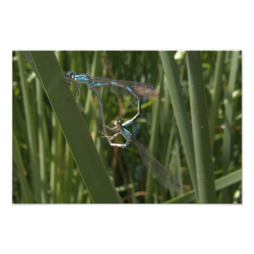 Dragonfly in Love Photo