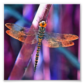 Dragonfly In Orange and Blue Photo Print