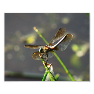 Dragonfly on a Twig Photographic Print