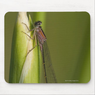 Dragonfly on budded iris mouse mat