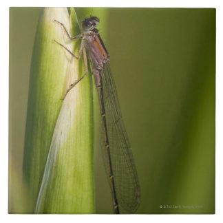 Dragonfly on budded iris tile