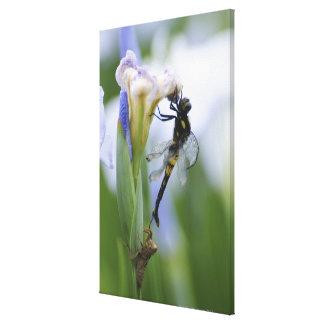 Dragonfly on iris canvas print