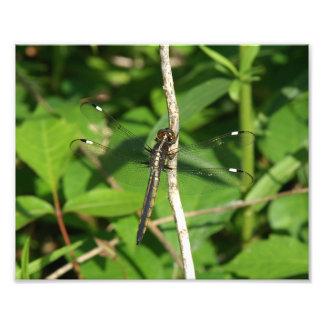 Dragonfly, Photo Enlargement.