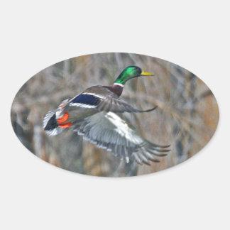 Drake mallard in flight oval sticker