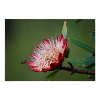 Drakensberg Sugarbush (Protea Dracomontana) Poster