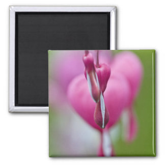 Dramatic color and shape of bleeding heart square magnet