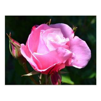 Dramatic Pink Rose Postcard