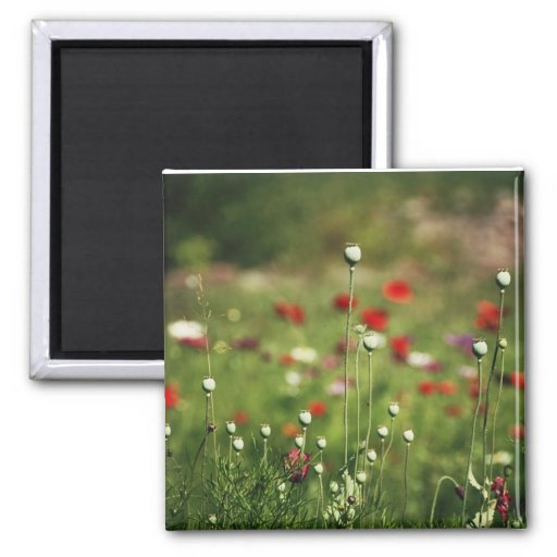 Dramatic Poppy Field Magnets