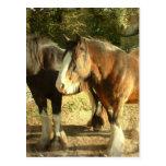 Draught   Horse Pair Postcard