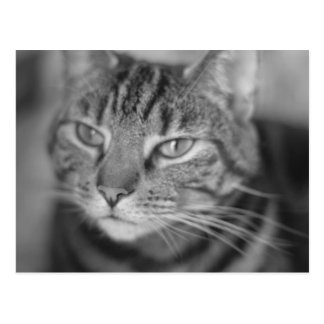 Dreamy Tabby Cat in Black and White postcard