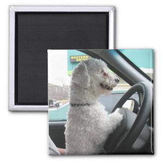 driving bichon magnet