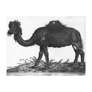 Dromedary, from 'Historial Animalium' Canvas Print