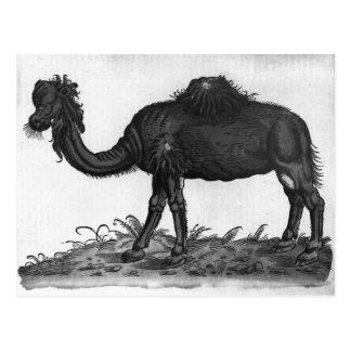 Dromedary, from 'Historial Animalium' Postcard