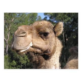 Drooling Camel Postcard