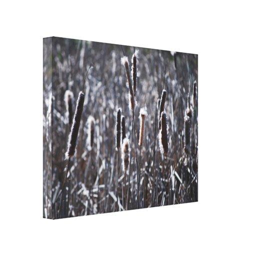 Dry Typha Latifolia Stretched Canvas Print