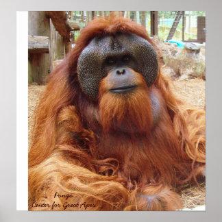 DSC01855 (3), PongoCenter for Great Apes Poster