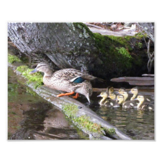 duck and her ducklings photo art
