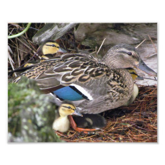 duck and her ducklings photo print