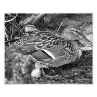 duck and her ducklings photograph