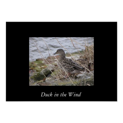Duck in the Wind Posters