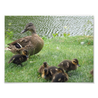 Duck mom and ducklings photographic print