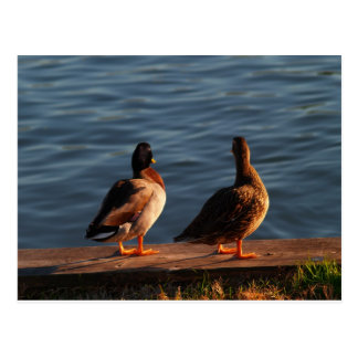Duck Pair Postcard