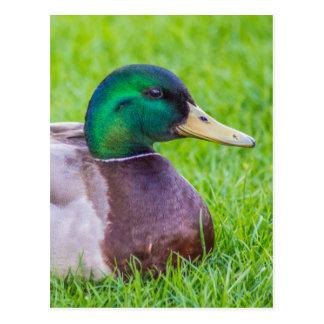 Duck Post Card
