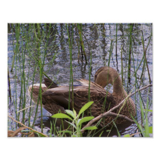 Duck Preening in the Reeds Poster