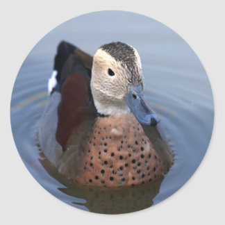 Duck ringed teal beautiful photo sticker, stickers