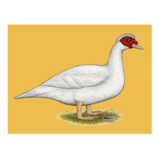Duck White Muscovy Postcard