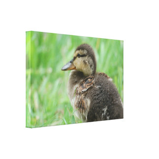 DUCKLING ~ DUCK CHICKENS ~ photo: Jean Louis Canvas Print