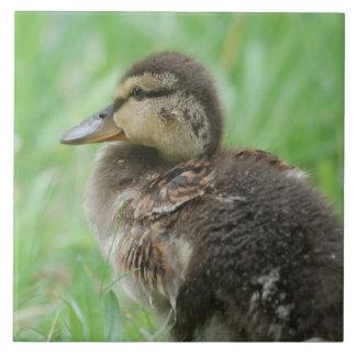 Duckling - duck chickens/photo: Jean Louis Glineur Tile