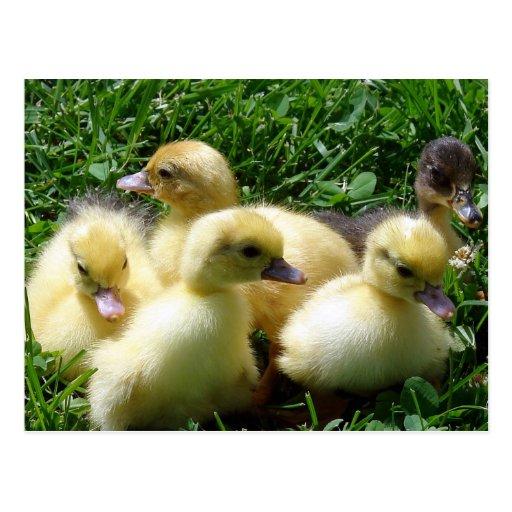 Ducklings Postcards