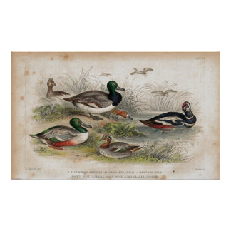 Ducks Antique Lithograph print