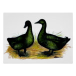 Ducks:  Cayuga Pair Poster