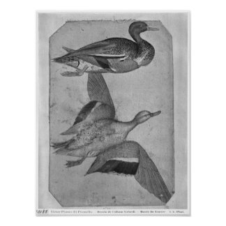 Ducks, from the The Vallardi Album Poster