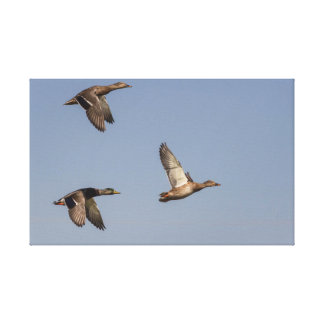 Ducks in flight gallery wrapped canvas