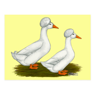 Ducks:  White Crested Postcard
