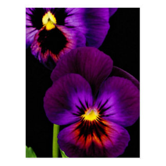 Duet of purple pansies, Washington State  flowers Postcard