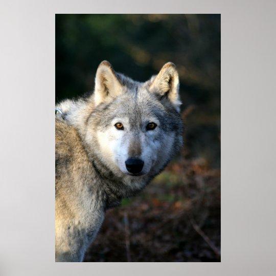 Duma The Wolf Poster