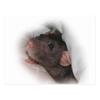 Dumbo rat wanna play? postcard
