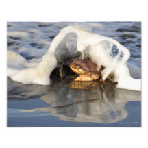 Dungeness Crab with the Surf Spilling Over! Photo Print