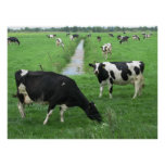 Dutch Dairy Cows Poster Print Gifts