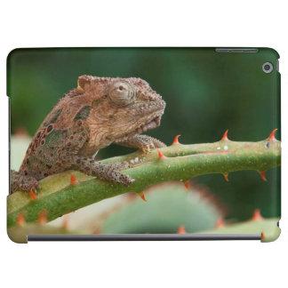 Dwarf Chameleon (Brookesia Exarmata), Algoa Bay