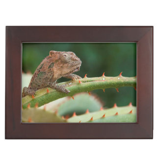 Dwarf Chameleon (Brookesia Exarmata), Algoa Bay Keepsake Box