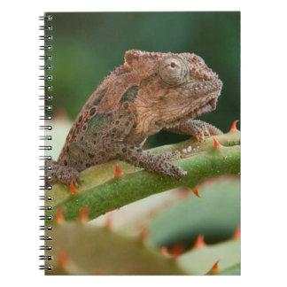 Dwarf Chameleon (Brookesia Exarmata), Algoa Bay Notebook