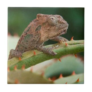 Dwarf Chameleon (Brookesia Exarmata), Algoa Bay Tile