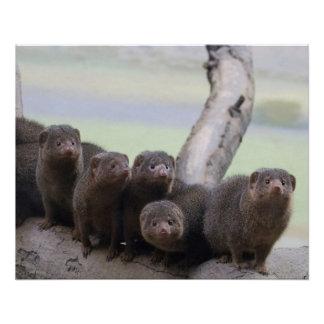Dwarf Mongoose Pack