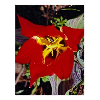 Dwarf tulip post card