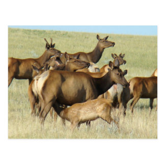 E0007 Cow Elk and Calf Postcard
